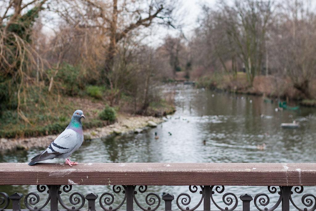 Taube im Regent's Park