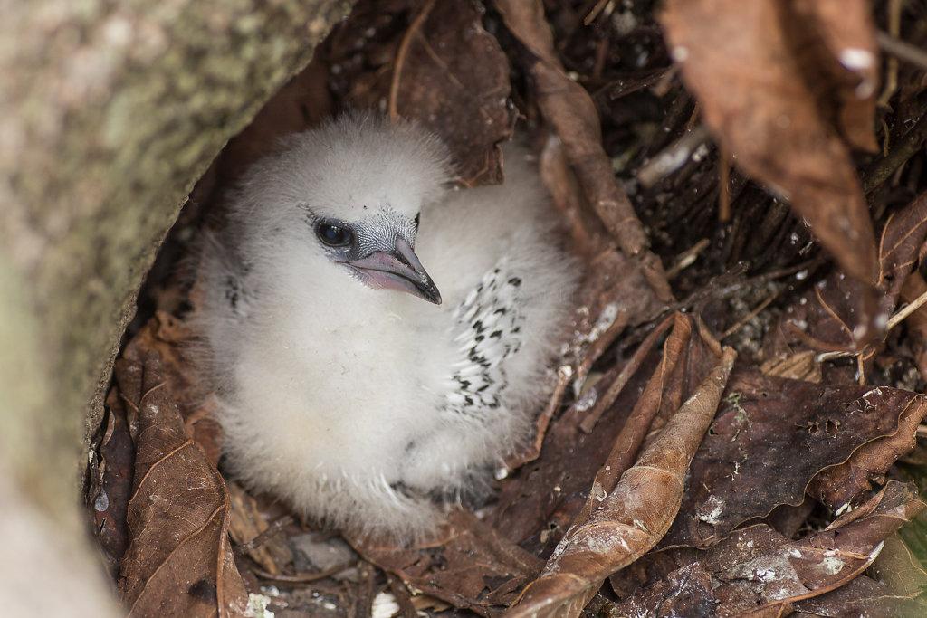 Weißschwanztropikvogel-Küken