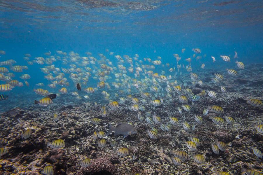 Fischschwarm vor Felicite, Gitter-Doktorfisch, Indopazifik Sergeant,   Violetter Soldatenfisch, Kugelkopf-Papageifisch, Blauer Ruderfisch