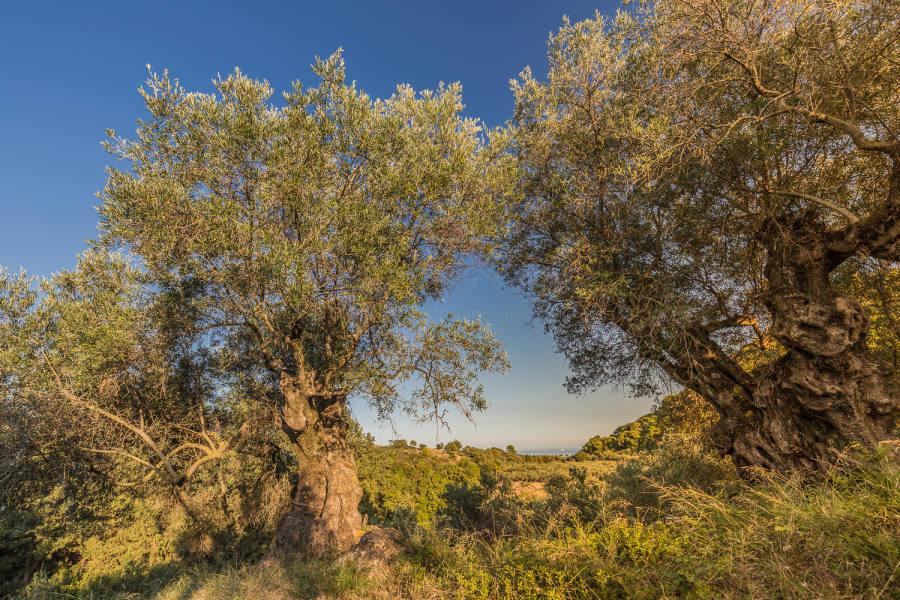 Uralte Olivenbäume
