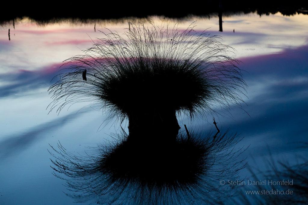 Wollgras im Sonnenuntergang